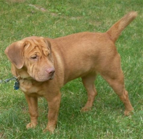 Do Shar Pei Lab Mix Shed by Sharp Eagle Breed Information And Pictures