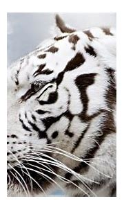 White Tiger Wallpaper HD (66+ images)