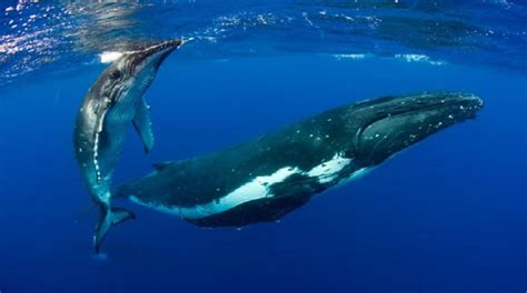 protect pacific whales ocean voyagers loop tonga