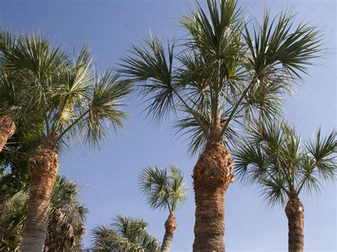 tree service that trims cabbage palm trees to pineapple palm trees and is insured in sarasota
