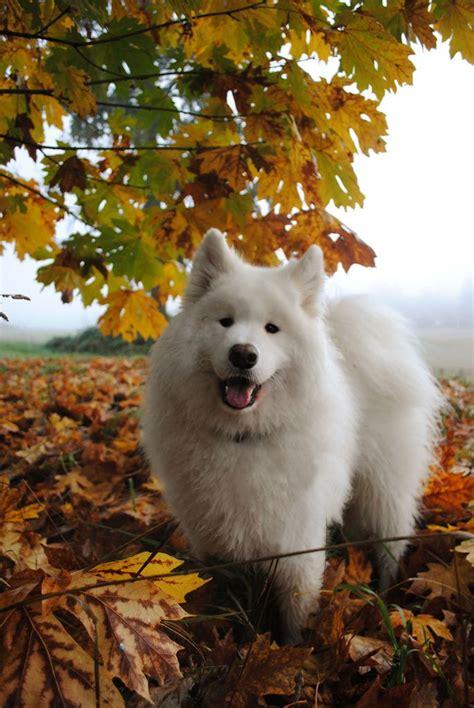 118 Best Images About Hundar Samojed On Pinterest