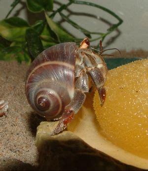 17 best images about hermit crabs on pinterest hermit