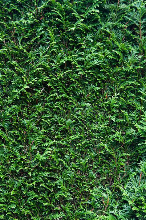 amaryllis treibt nur blätter zypresse hecke stockbild bild bl 227 164 tter zypresse 16762689