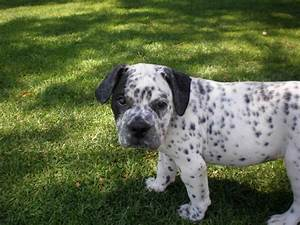 bulldog and dalmatian mix - Sök på Google | Best of nature ...