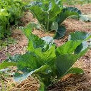 Planter Des Choux Fleurs : choux fleurs semer cultiver et r colter au potager ~ Melissatoandfro.com Idées de Décoration