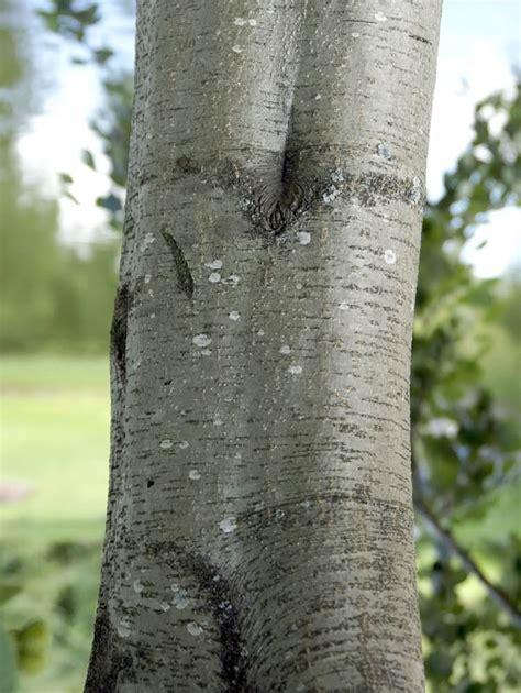graal alnus incana traed och buskar naturegate