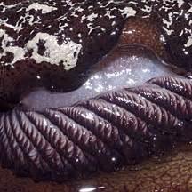 forskals sidegill slugs pleurobranchus forskalii