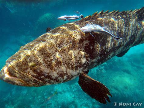 goliath grouper atlantic