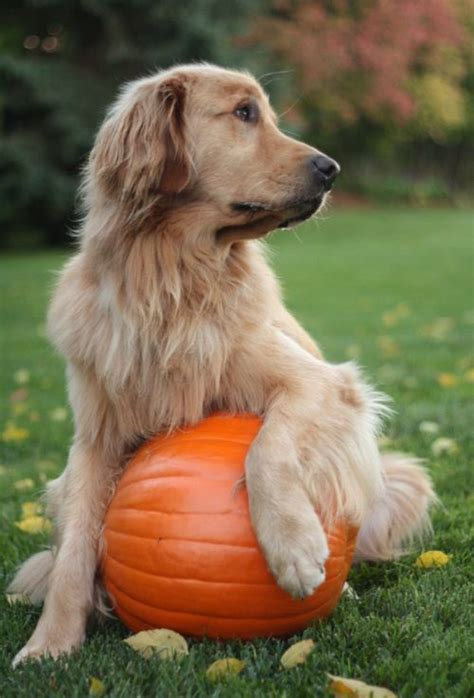dog   pumpkin pictures   images