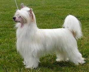 Chinese Crested Illustrated Standard