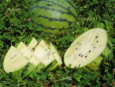 white  watermelon   southern exposure seed