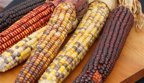 This week in history: Worldwide Maize Day - People's World