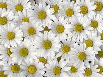Daisy Wallpapers Iphone Cave