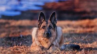 Dog German Shepherd Desktop Backgrounds Animal Wallpapers
