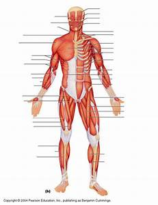 Superficial Muscles Of The Body Model Images