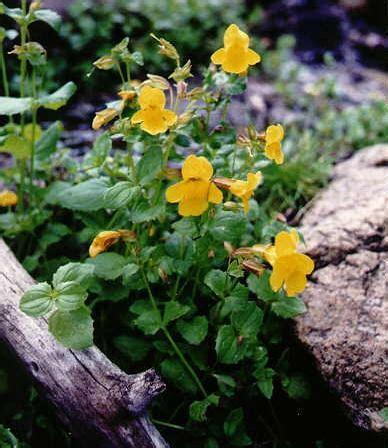 acquistare fiori di bach floriterapia fiori di bach mimulus mimmolo