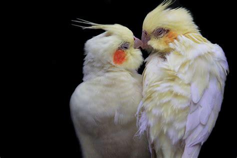 love birds kiss cockatiels  avifauna