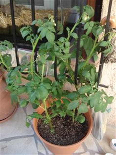 comment faire pousser des pommes de terre dans un pot