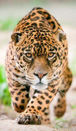 nossa onca pintada brasil tattoo ideas animais silvestres animais selvagens animais exoticos