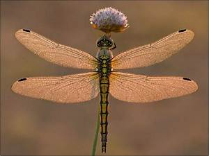190 Best Dragonflies Images On Pinterest