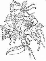Columbine Drawing Coloring Pages Flowers Flower Drawings Pen Ink Colors Detailed Template Sketch Artists sketch template