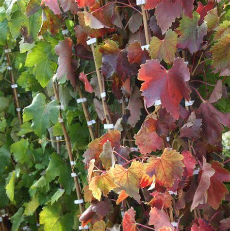 coltivare uva da tavola coltivare la vite da uva da tavola passione in verde
