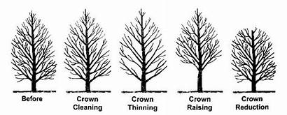 Tree Trees Crown Trimming Pruning Types Cleaning
