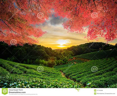 beautiful tea garden w maple stock photo image