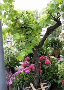 Kübelpflanzen Für Schatten : absolut winterharte k belpflanzen erprobte auswahl pflegeleicht ~ Eleganceandgraceweddings.com Haus und Dekorationen