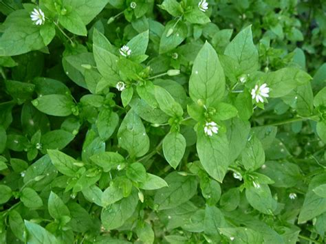 Wild Chickweed Benefits as a Lymph Cleanser and Skin Healer