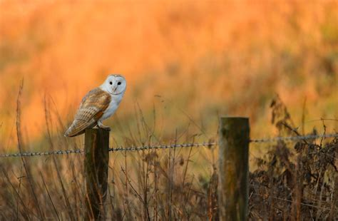barn owl habitat barn owl habitat where do barn owls live the rspb