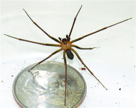top    brown recluse spiders earth earthsky