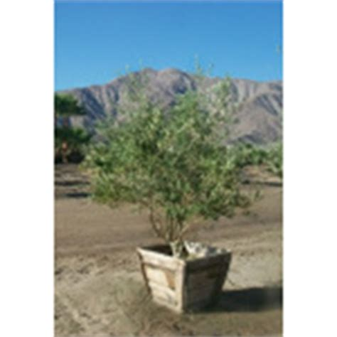 wilson olive tree trees evergreen trees st george landscaping
