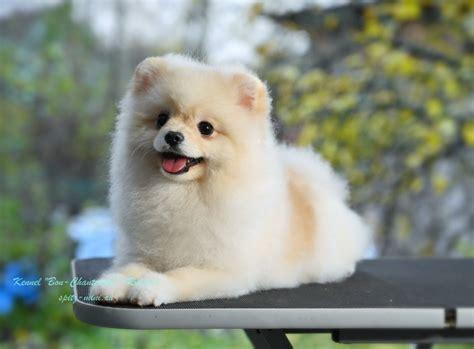 Купить щенка Померанский шпиц, мужской, 1 год, в ...
