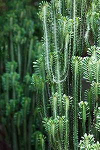 Euphorbia Trigona Vermehren : know your euphorbia ~ Orissabook.com Haus und Dekorationen