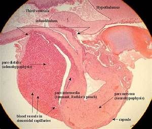 Pituitary Histology Labeled