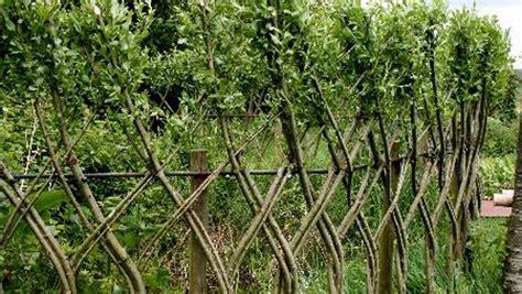 pagar rumah tanaman hidup