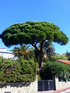 acheter un pin parasol recette de jardin 1 palmier chanvre le palmier de chine ou encore palmier chanvre ou