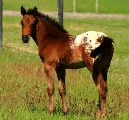 Appaloosa Paint Horse