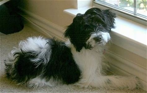 springerdoodle dog breed information  pictures
