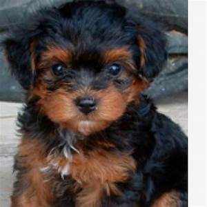 39 best images about Cute Puppies on Pinterest | Poodles ...