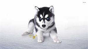 Related Keywords & Suggestions for husky puppy desktop