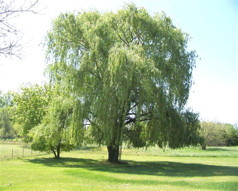 weeping willow  stock photo public domain pictures