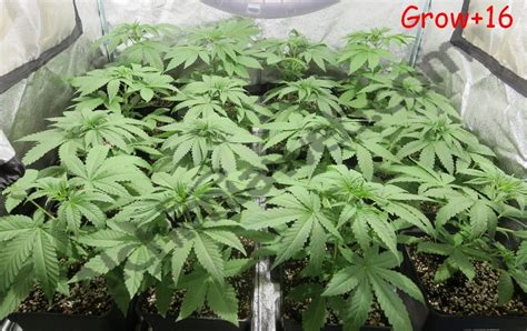 culture de graines de cannabis r 233 guli 232 res en int 233 rieur