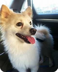 Chui | Adopted Dog | Miami, FL | Pomeranian/American ...