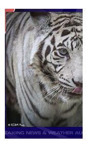 The Cincinnati Zoo's last white tiger, Popsy, dies at 22