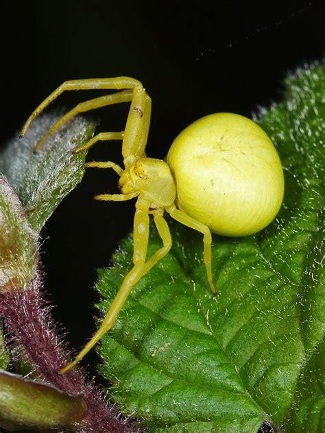 british spiders wildlife insight