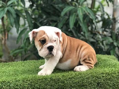 eb english bulldog puppies  sale adoption  quezon