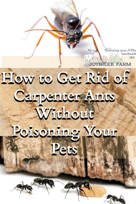 How To Get Rid Of Ants Inside The House by How To Get Rid Of Carpenter Ants Without Poisoning Your Pets