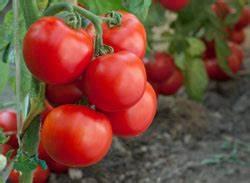 Tomaten Düngen Hausmittel : tomaten d ngen so wird 39 s gemacht ~ Whattoseeinmadrid.com Haus und Dekorationen